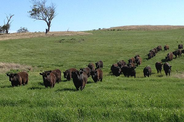 bulls-on-oats