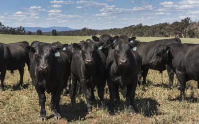 25 Bulls for Sale